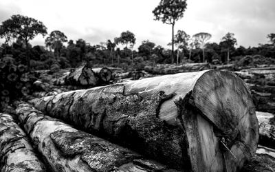 Foto em preto e branco de troncos de árvores cortados. Ao fundo, árvores ainda plantadas. Foto: Felipe Werneck/Ibama